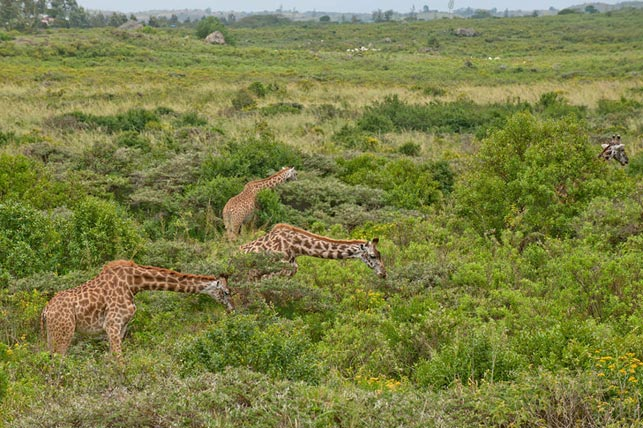 spot giraffes while eating with Allen Tanzania Safaris