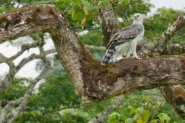 spot Short-toed snake eagle with Allen Tanzania Safaris