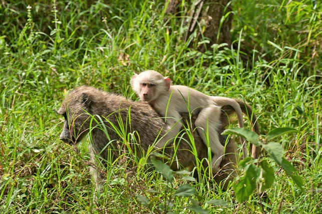 spot the unique white baboons with Allen Tanzania Safaris