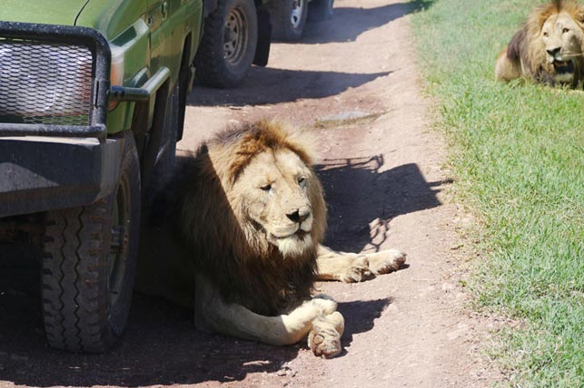 have a siesta with lions with allen tanzania safaris