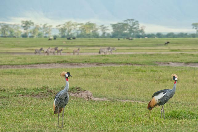 spot crowned cranes with allen tanzania safaris