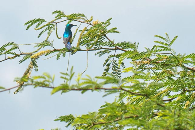 spot collared sunbirds with allen tanzania safaris