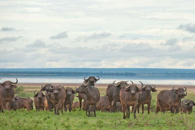 group of female buffalos