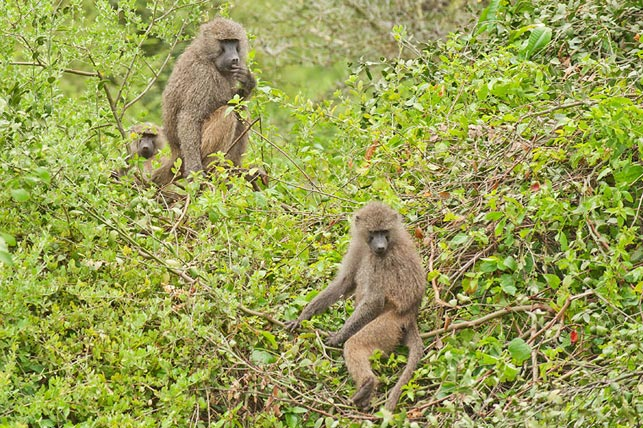 baboons eating