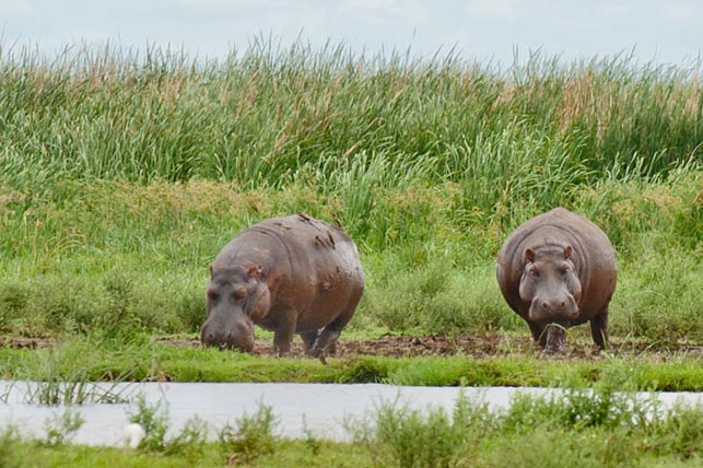 hippos with oxpeckers