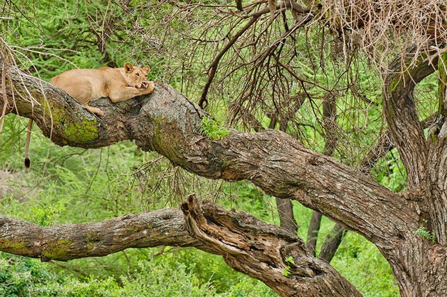 female tree climbing lions sleeping in a tree close to lake manyara