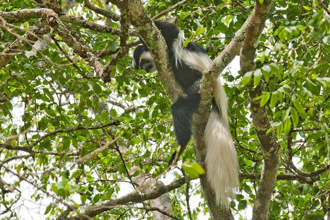 spot black-and-white colobus monkeys with allen tanzania safaris