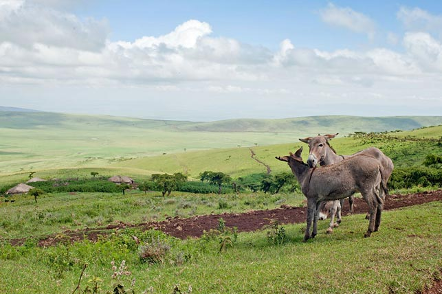 spot maasai donkeys with allen tanzania safaris