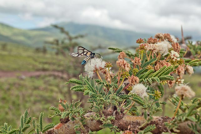 spot colourful wasps on acacia blossoms with allen tanzania safaris
