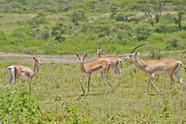 spot grants gazelles with allen tanzania safaris
