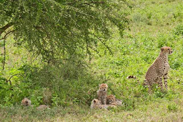spot cheetas with allen tanzania safaris