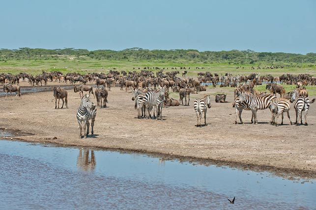 spot wildebeast and zebras while the big migration at ndutu river with allen tanzania safaris