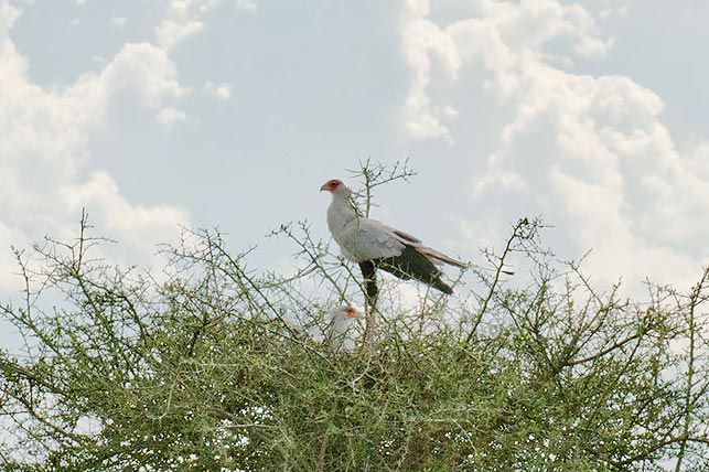 spot secretary birds in their aerie with allen tanzania safaris