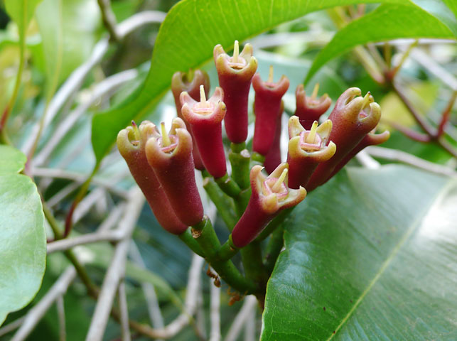 spot clove blossom on pemba island with allan tanzania safaris
