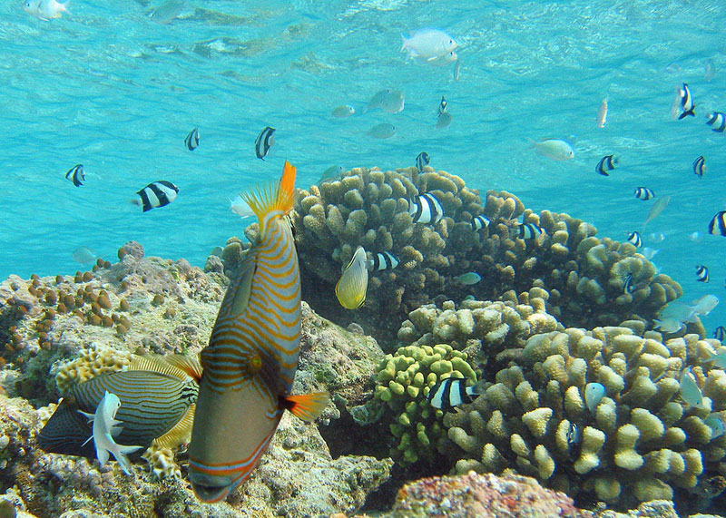 snorkle orange-lined triggerfish through coral gardens at pemba island reef with allan tanzania safaris