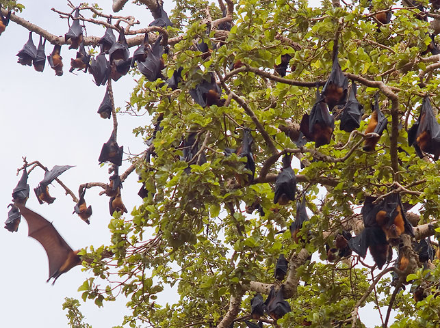spot colonies of flying fox on pemba island with allan tanzania safaris