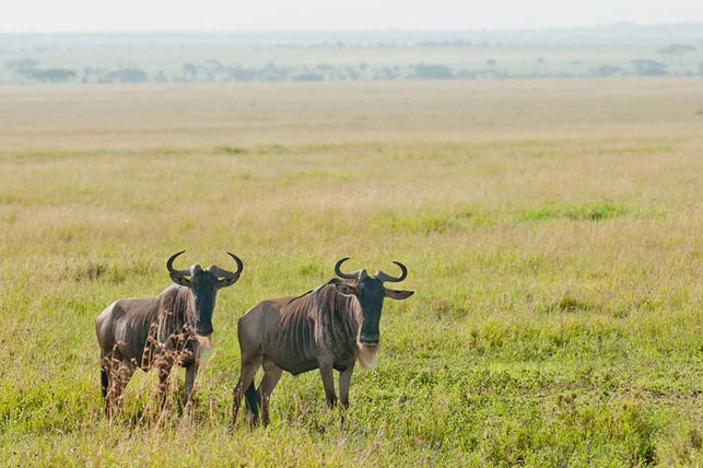 spot wildebeast in savana with allan tanzania safaris