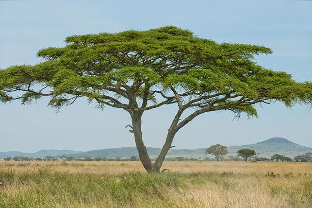 discover umbrella acacia with allan tanzania safaris