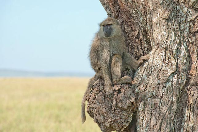 spot young baboon on a tree with allan tanzania safaris