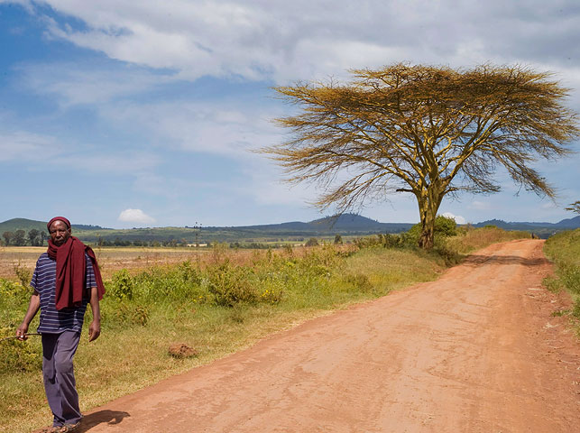 spot yellow-barked acacia trees at enduiment with allan tanzania safaris