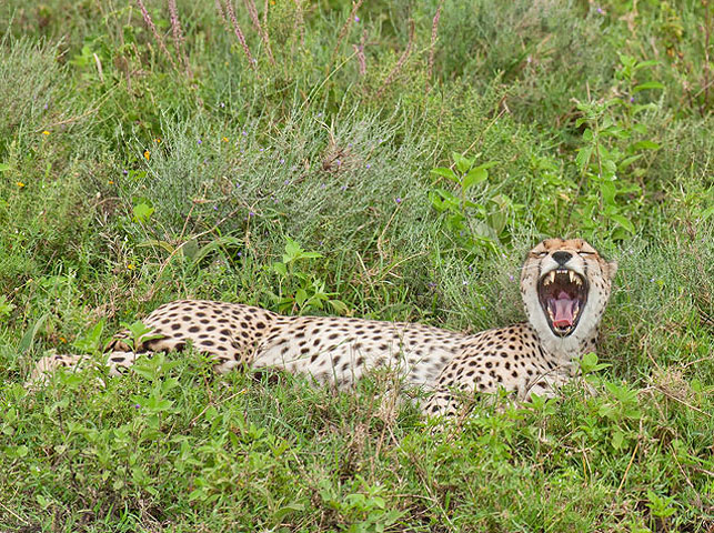 spot cheeta at enduiment with allan tanzania safaris