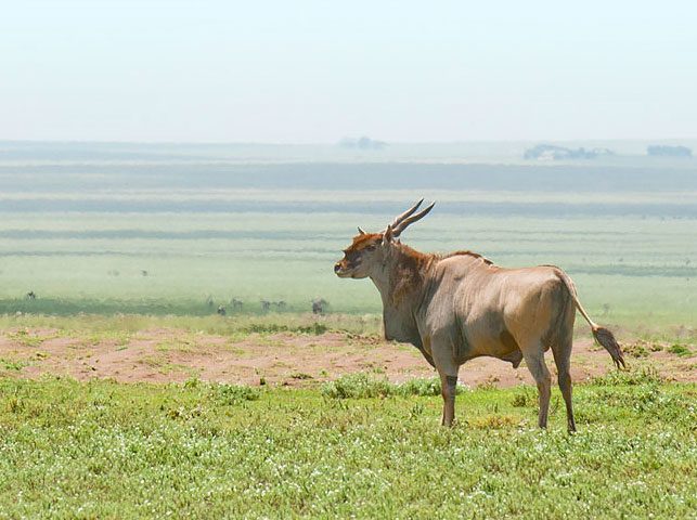 spot eland antelope at enduiment with allan tanzania safaris
