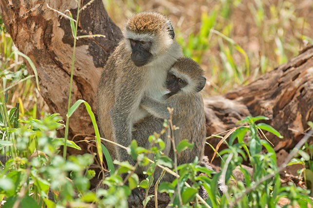 green vervet monkey, mother and child