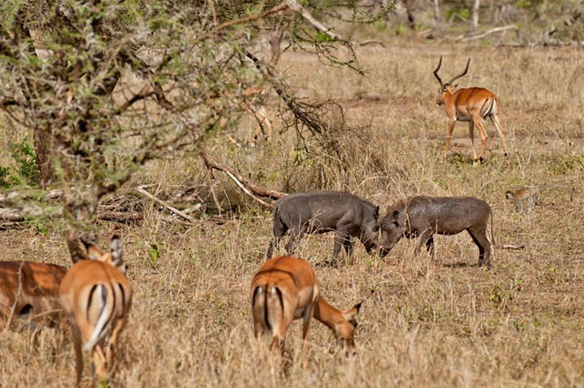 warthogs fighting, impalas